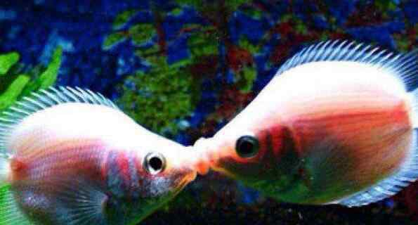 亲嘴鱼 观赏鱼界的翘楚亲嘴鱼 新手也能养好接吻鱼的方法