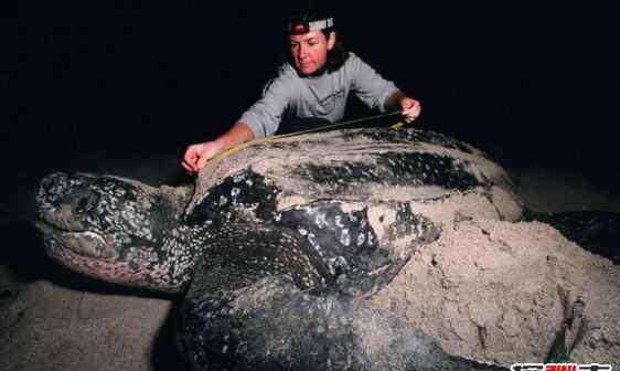 世界上最大的海是什么海 世界上最大的乌龟,棱皮龟海洋最大/象龟陆地最大