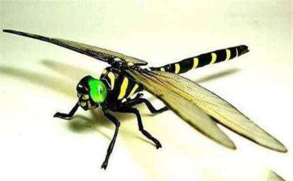 蜻蜓的特点是什么 世界上捕杀率最高的蜻蜓是什么 鬼蜻蜓(善于捕猎)