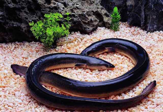 都阳鳗鱼 最神秘的鱼类之一——鳗鱼的简介及鳗鱼的营养价值