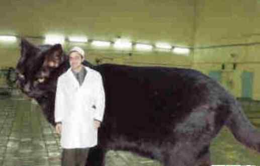 巨猫 世界上最大的猫,乌克兰巨猫angie重726斤(PS所致)