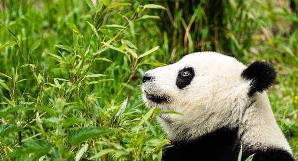大熊猫的寿命 世界上最长寿的大熊猫 活了38周岁(相当于人类的一百多岁)