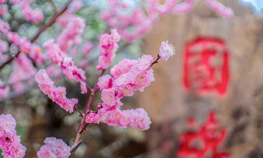 玉堂春花 赏花地图最美花期来了