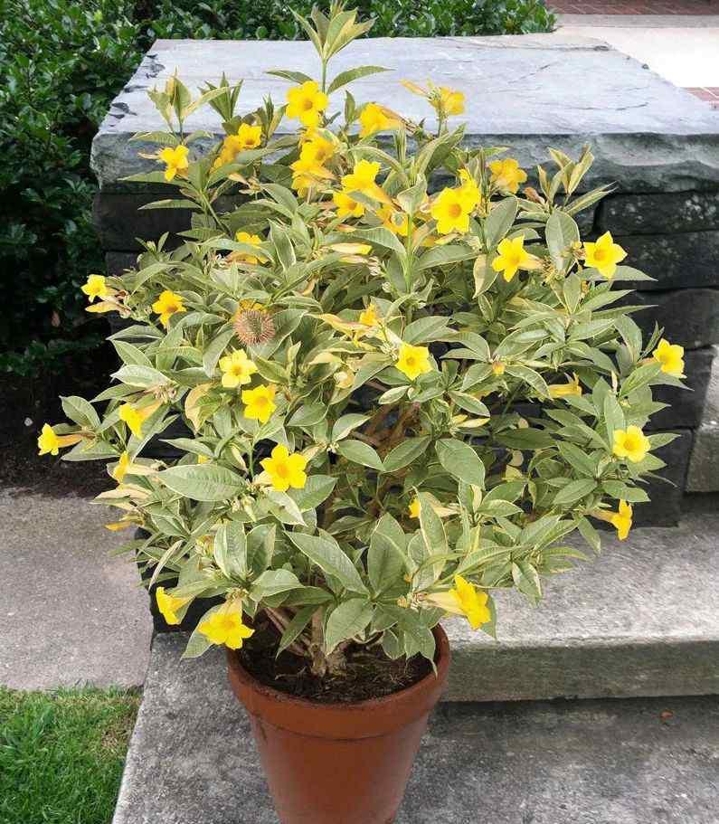 黄蝉花 养成盆栽可常年开花的黄蝉花 花朵惹人喜欢 适合扦插繁殖