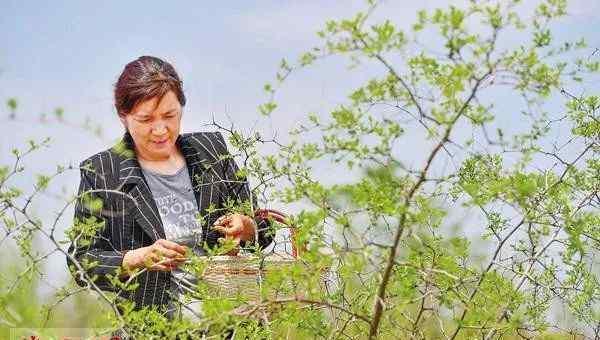 酸枣树图片 宜阳县西赵村:野生酸枣树叶成了村民增收黄金叶