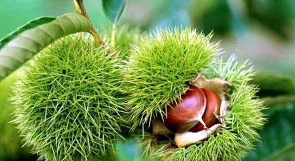板栗不能和什么一起吃 板栗和豆浆能一起吃吗 两者一起搭配是否有什么禁忌
