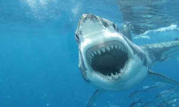 鲨鱼是什么动物 鲨鱼是什么动物类型 这是一种什么样的生物