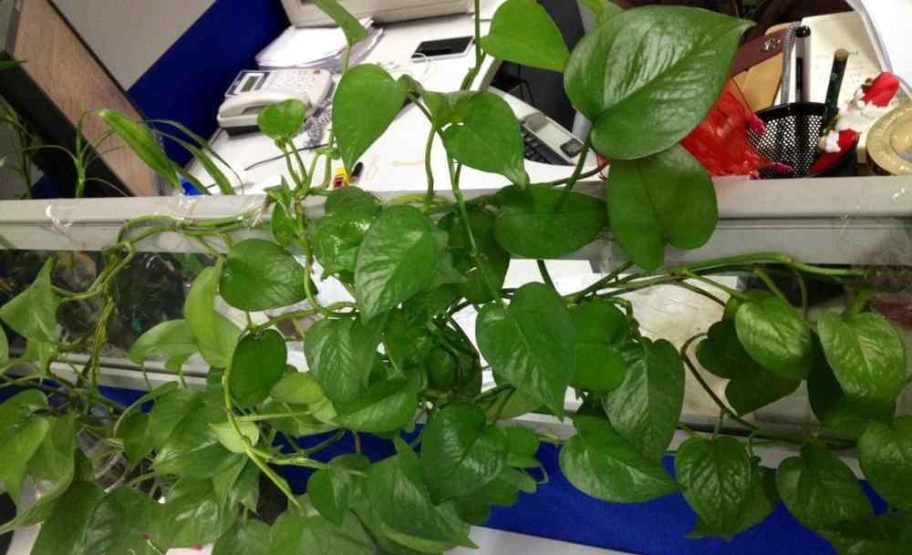 阳台最理想的攀爬植物 绿萝要想养成攀爬植物 这3个要素要记住 缺一不可